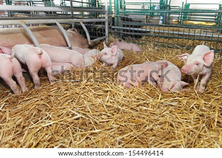 Small pigglets suckling sow in pen with straw - stock photo