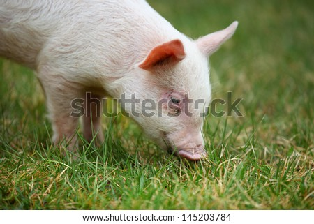 Small piglet grazing in the middle of meadow - stock photo