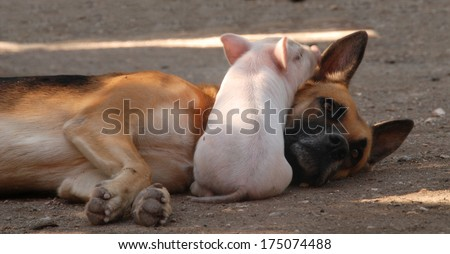 Small Piglet lying on a dog - stock photo