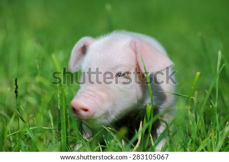 Small piglet on a green grass