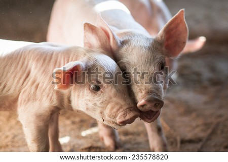 small pigs in farm - stock photo