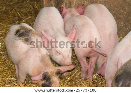 small pigs in farm - stock photo
