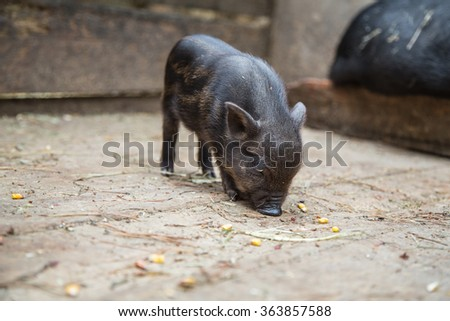 small pigs in the farm - stock photo