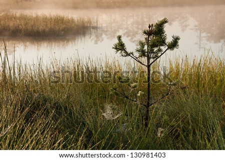 Small pine tree and spider webs near pond in a bog or marsh
