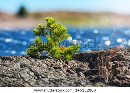Small pine tree made the way through rocks on coast, Sweden - stock photo