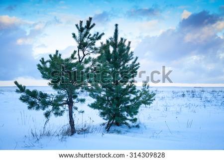 Small pine trees on Baltic Sea coast under cloudy sky. Gulf of Finland, Russia, winter season - stock photo