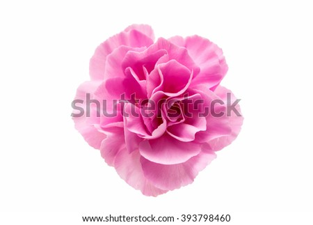 small pink carnation isolated on white background
