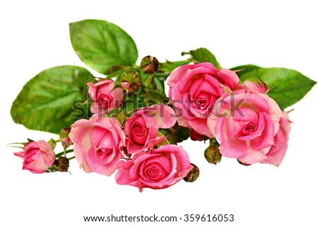 Small pink rose flowers isolated on white background