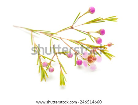small pink wax flower isolated on white background - stock photo