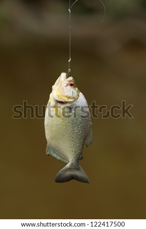 SMALL PIRANHA FISH CAUGHT IN AMAZONIAN BASIN  - stock photo