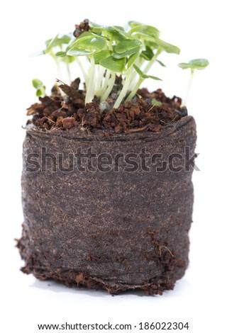 Small Plant (seedling) isolated on white background - stock photo