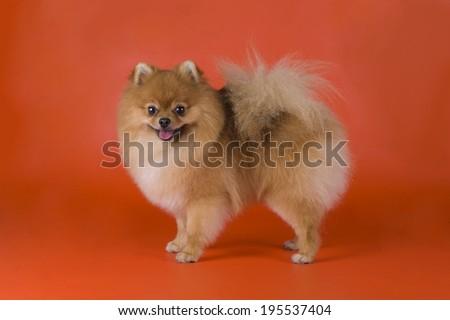 small Pomeranian dog - stock photo