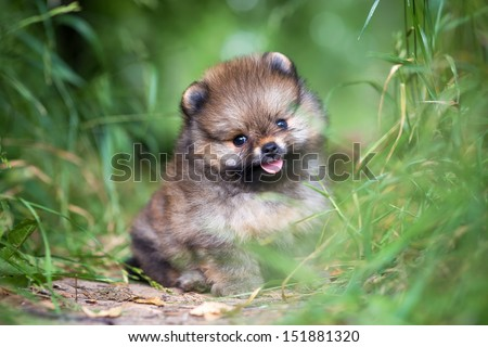 Small Pomeranian puppy sitting in the green grass - stock photo