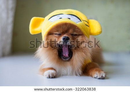 small Pomeranian sitting in funny costumes - stock photo