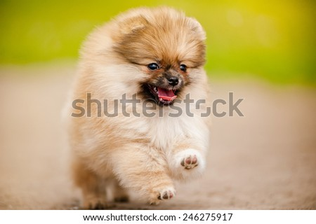Small Pomeranian Spitz puppy running and looking at camera