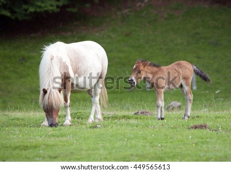 small pony and his mother grazing