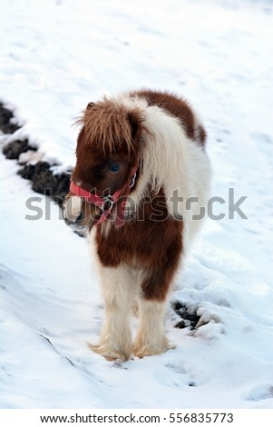 Small pony in winter