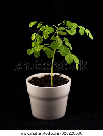 Small potted plant of Moringa (Moringa oleifera Lam.) isolated on black - also known as Bitter cucumber or drumstick