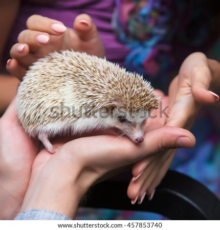 small prickly hedgehog in the hands of people - stock photo
