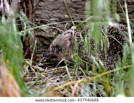 small prickly hedgehog sits hidden behind the grass near the fence Ukraine - stock photo