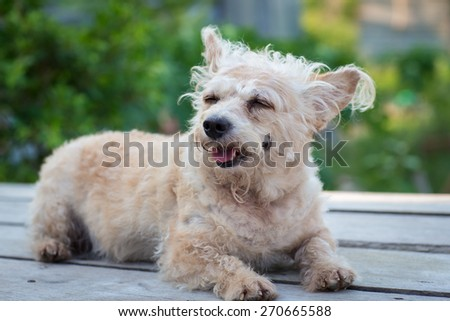 small puddle dog sleep on wood table in garden