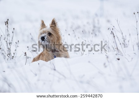 Small puppy dog, a kern terrier playing in the snow, looking to left side of image.