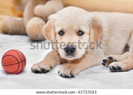 Small puppy - golden retriever - stock photo