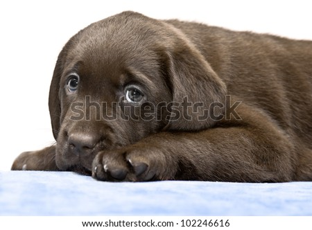 Small puppy lying on a blue mat on the floor. Brown labored's pup with sad eyes, looks plaintively