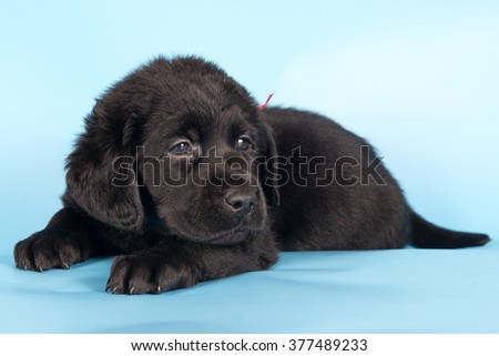 Small puppy of a Labrador retriever lying on a blue background