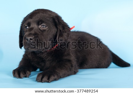 Small puppy of a Labrador retriever lying on a blue background and looking somewhere