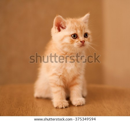 Small purebred British kitten peach color. sorrow - stock photo
