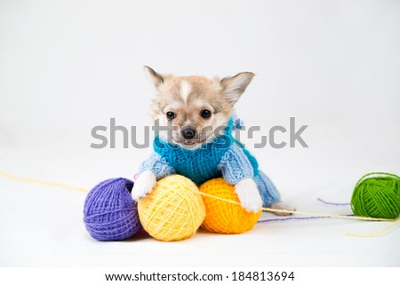 Small purebred puppy on  white background. Pet in the studio - stock photo