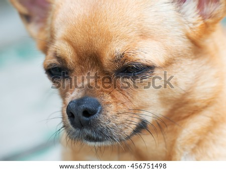 Small purebred red chihuahua dog looks with hope into the distance. Portrait of close-up with very shallow depth of field. - stock photo