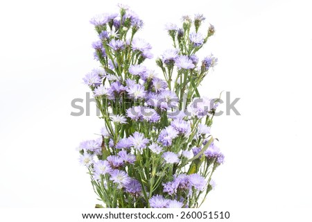 Small purple chrysanthemum on white background