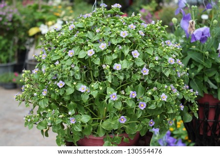 small purple flowers exacum tropical plant stock photo, Beautiful flower