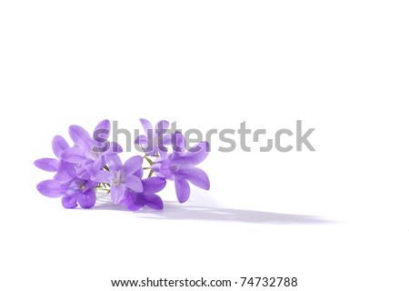Small purple flowers, isolated - stock photo