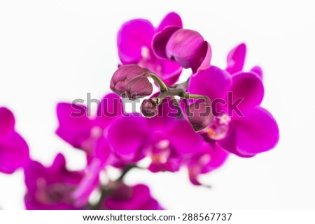 Small purple Moth orchids and the focus is on the buds close up