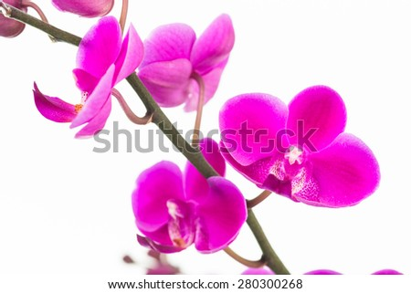 Small purple Moth orchids close up over white background