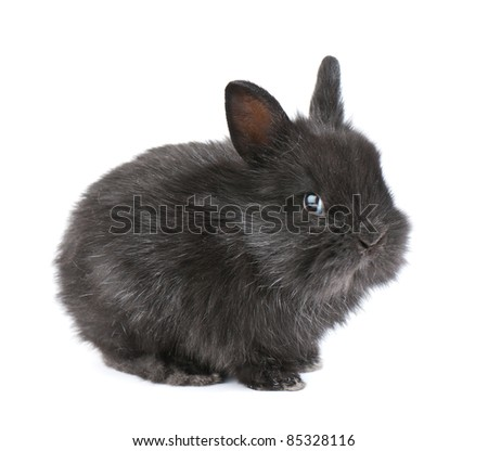 Small racy dwarf black bunny isolated on white background. studio photo.