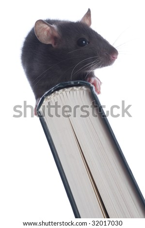 small rat. on white isolated - stock photo