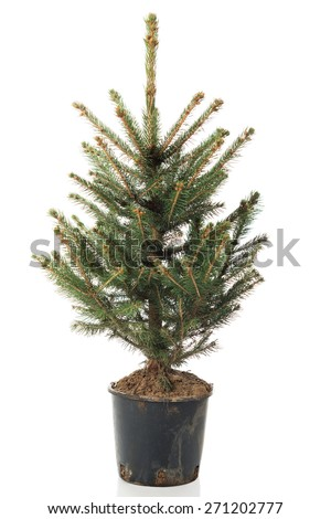 small real undecorated bare christmas tree in a pot - Small Real Christmas Trees