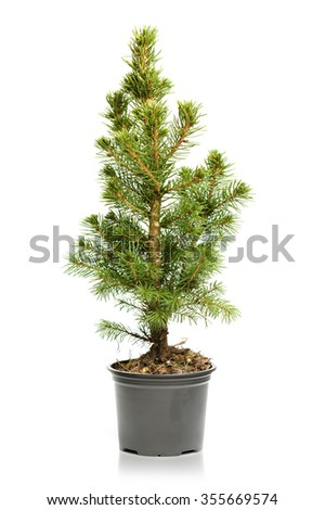 Small, real undecorated bare Christmas tree in a pot isolated on white background - stock photo
