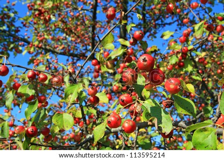 small red apple on green branch - stock photo