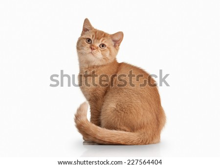 Small red british kitten on white background - stock photo