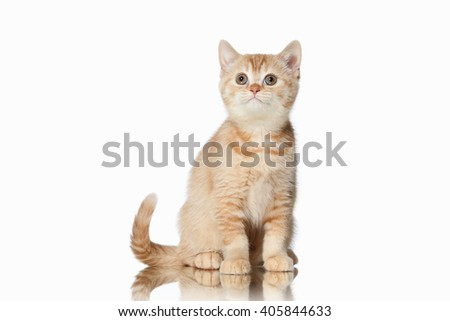 Small red british kitten on white background
