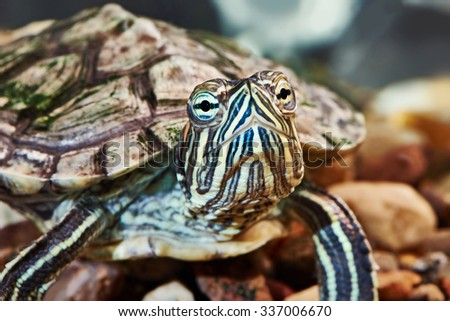 Small red-eared turtle in aquarium