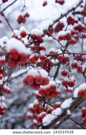 Small, red, frozen apples sprinkled with snow are hanging on a tree. - stock photo
