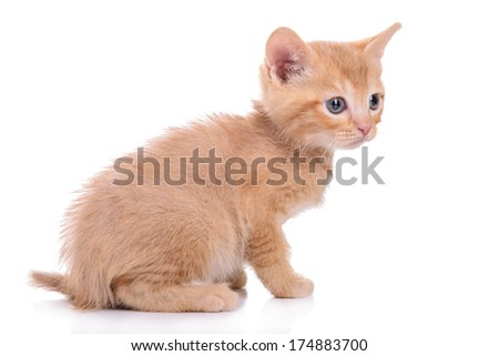 small red kitten Scottish breed. animal isolated on white background