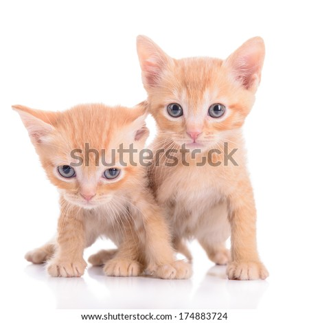 small red kittens Scottish breed. animals isolated on white background - stock photo