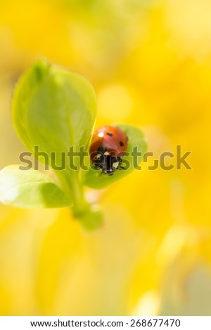 Small red ladybird on a green leaf on yellow background. Spring messenger, close-up blurred